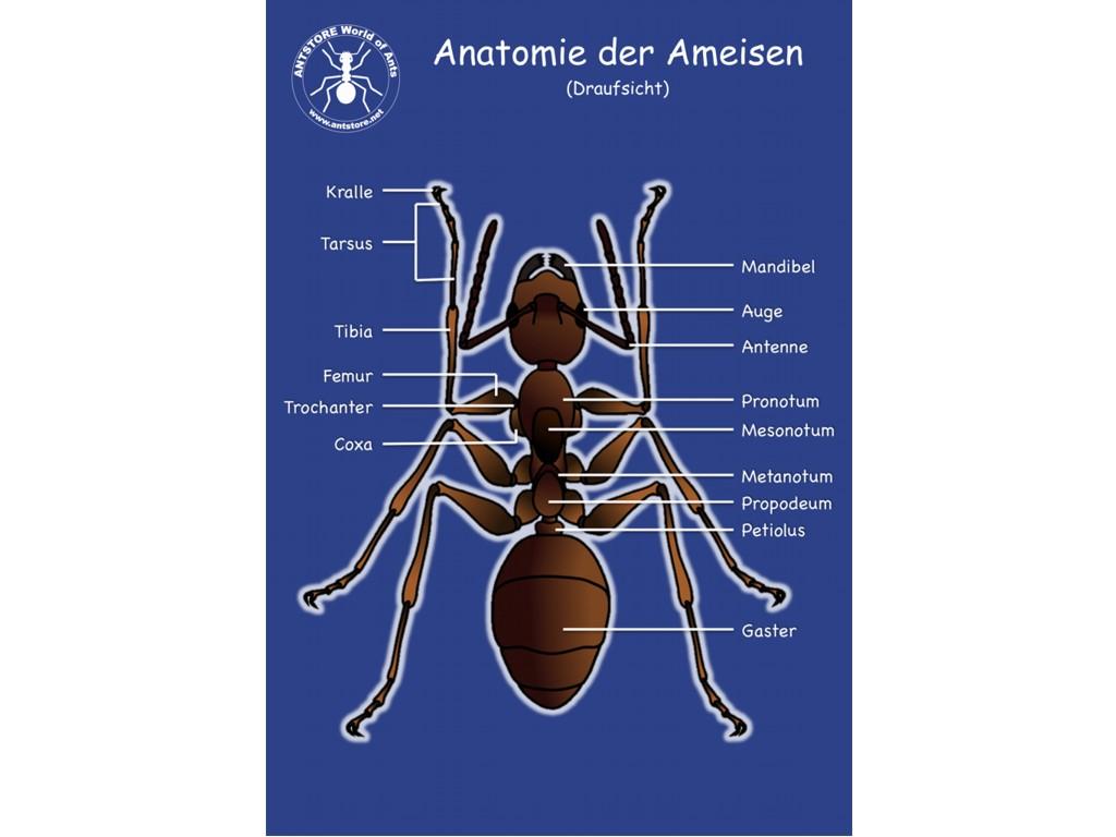 ANTSHOP - Switzerland - Ameisenshop - Ameisen kaufen - Poster ...
