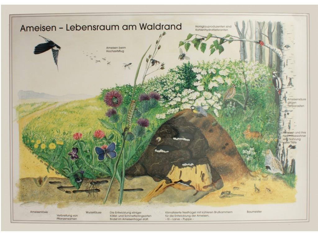 Antshop Switzerland Ameisenshop Ameisen Kaufen Poster
